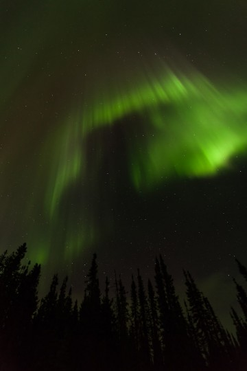 A towering curtain of northern lights hangs over a dense boreal black spruce stand in northern Alberta