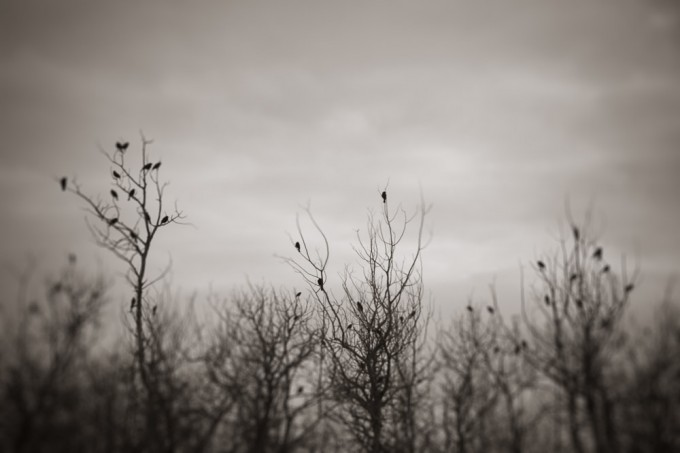Red-winged blackbirds perch in the bare branches of early spring near Beaverhill Lake in Alberta