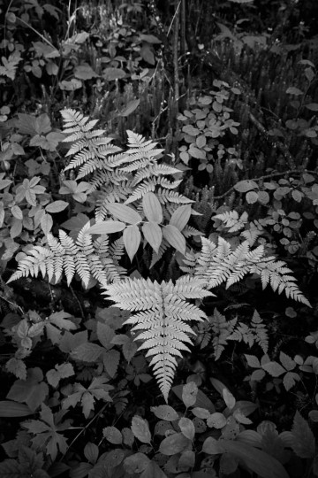 A Lady Fern (Athyrium filix-femina) spreads it's fronds across the understory vegetation in a boreal mixedwood forest in west-central Alberta, Canada