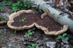 Bracket fungus mushroom at Ministik Lake Sanctuary
