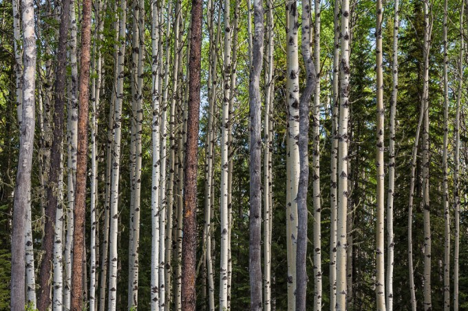Aspen, spruce and pine trees display a range young boreal mixedwood forest in western Alberta, Canada