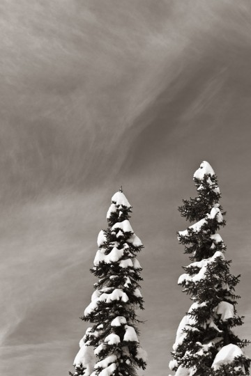 Fresh snow covers the upper branches of two black spruce trees in the Wagner Natural Area