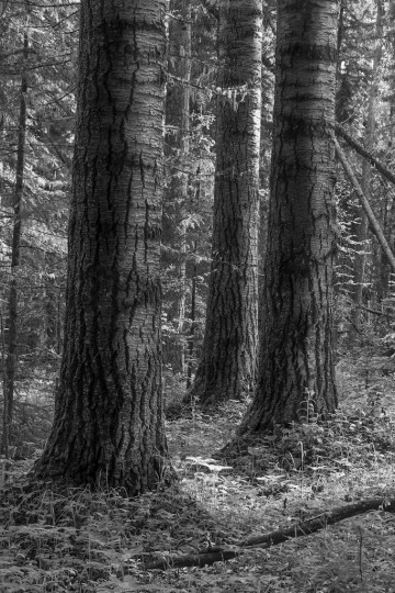 Three massive aspen (Populus tremuloides) trees dominate an old-growth mixedwood stand in the boreal forest of west-central Alberta.