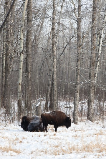 Two bison brace against the cold on a winter day at Elk Island National Park