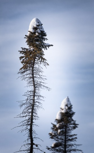 A thick cap of fresh snow covers the top of a thin, sparsely branched, black spruce tree