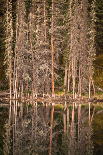 Tall shoreline spruce are reflected in the glassy calm surface of Emerson Lake in northwestern Alberta