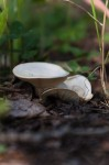 White Anise-scented Clitocybe mushroom at Ministik Lake Sanctuary