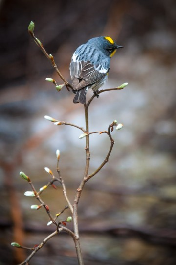 A male Audubons Warbler watches for flying insects from his perch on a freshly budding willow sapling overhanging a small creek in Banff National Park, Alberta