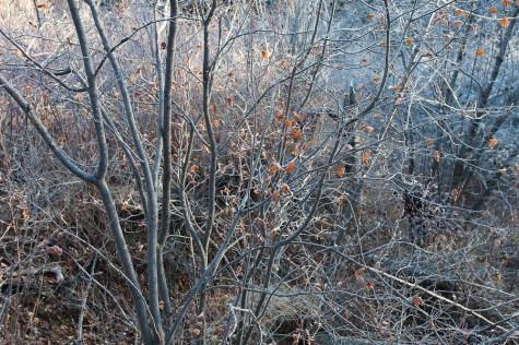Frost-covered willow thicket at dawn in the Whitemud Ravine in Edmonton, Alberta