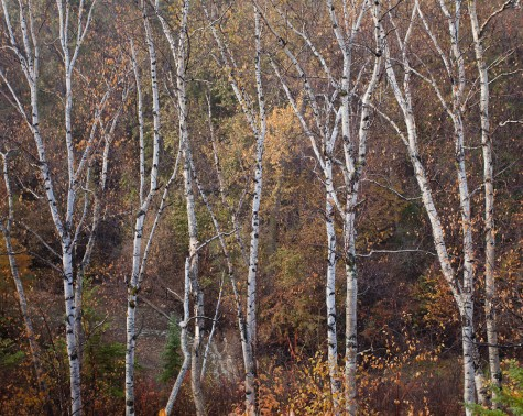 Several birch trees stand bare in front of subtle fall colour in the North Saskatchewan River valley