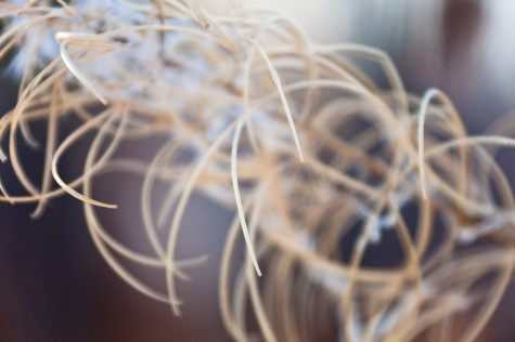 Even lighting, a close crop, and shallow depth-of-field accentuate the curves of a dried fireweed seedhead