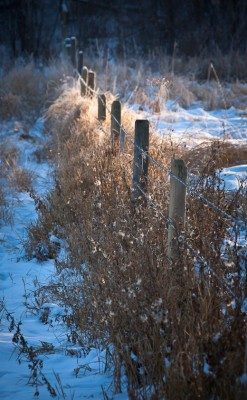 Late afternoon sun brightens up a patch of dried grasses along a wintery fenceline