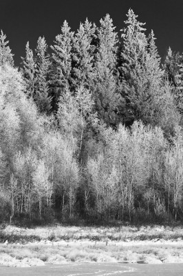 Thick hoar frost covers the birch and spruce trees along a frozen lake edge at the Ministik Lake Game Bird Sanctuary