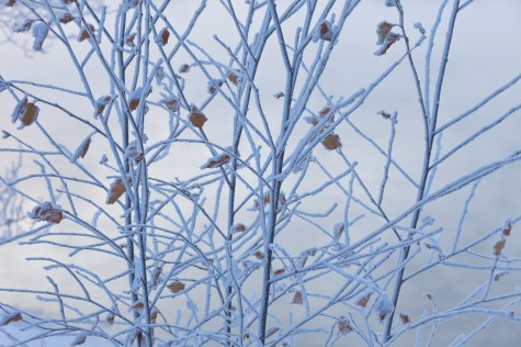 Heavy frost coats young alders saplings during an extreme cold snap in Edmonton, Alberta