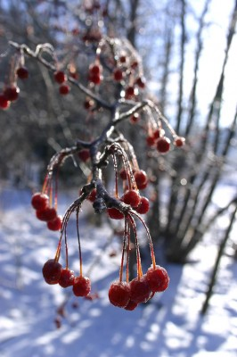 Red berries are backlit by the sun on a bright winter morning in Whitemud Ravine, Edmonton