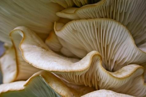 Oyster mushroom folds