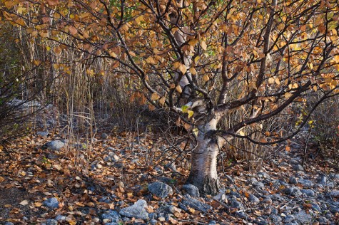 A small birch tree stands in full autumn colours among the rocks and reeds along the lake shore at the Ministik Game Bird Sanctuary near Edmonton, Alberta.
