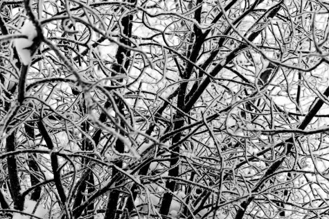 Frost and snow cover a dense tangle of thin branches near Edmonton, Alberta