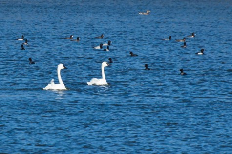 A pair of Trumpeter Swans float with a raft of ducks on Bray Lake at the Ministik Lake Game Bird Sanctuary