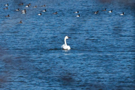 A Trumpeter Swan floats with a raft of ducks on Bray at the Ministik Lake Game Bird Sanctuary