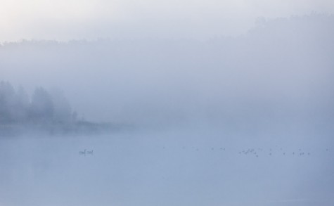 A pair of Canada Geese and a small flock of ducks rest on a calm lake on a foggy morning at Ministik Lake Game Bird Sanctuary
