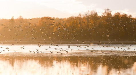 A flock of ducks flies up from Oliver Lake on an autumn evening at the Ministik Lake Bird Sanctuary